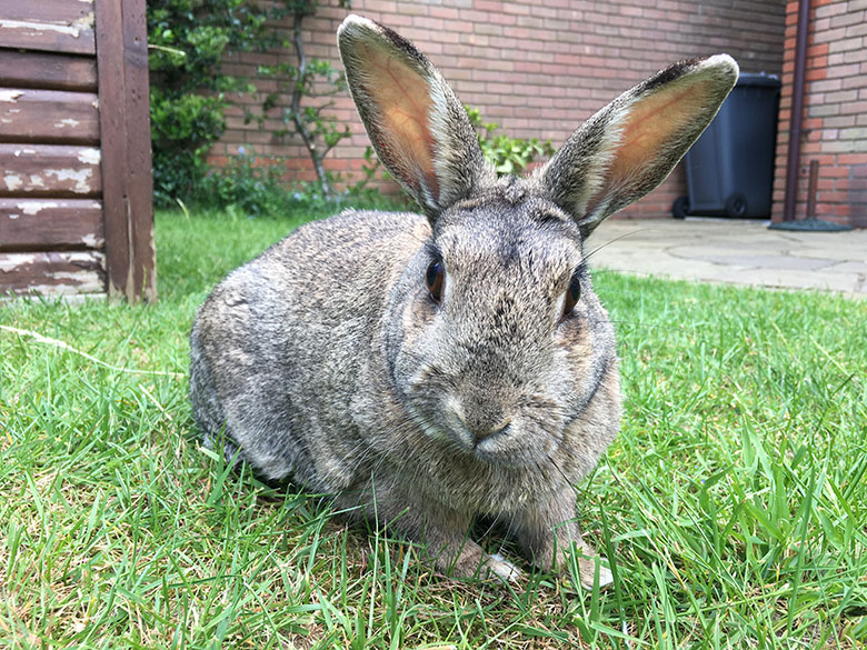 Our bunny, Fern, out on the lawn