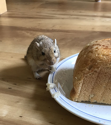 Our gerbil, Almond eating bread next to half a loaf of bread