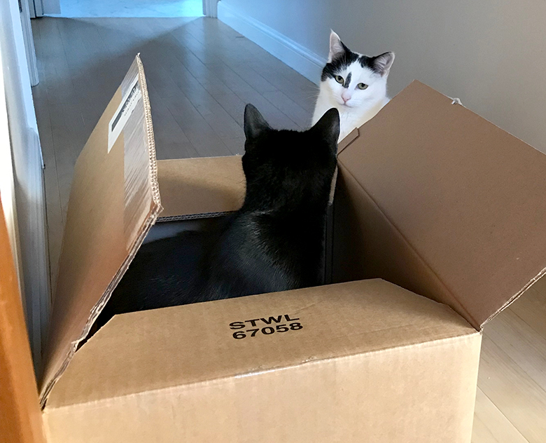 Jessie black cat in a box, and Inkie not looking very impressed